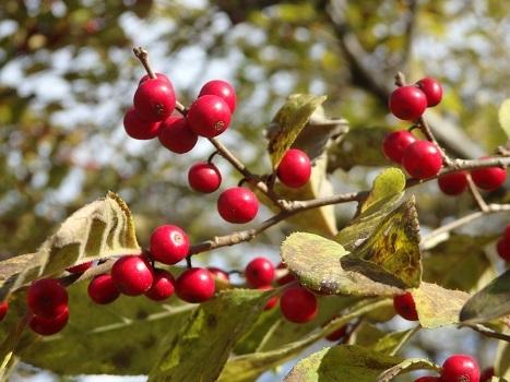 ウメモドキ ~落葉前と赤い果実」
