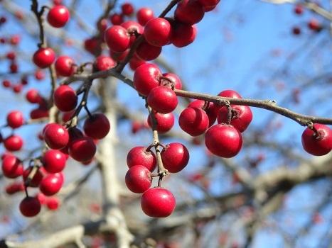 「ウメモドキ ~落葉前と赤い果実」