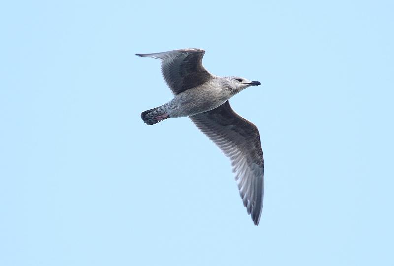 ②セグロカモメ幼鳥488A1544_S