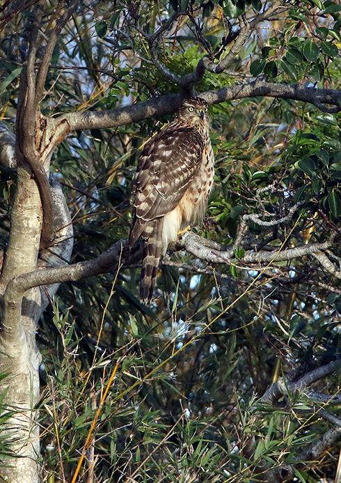 オオタカ幼鳥2198