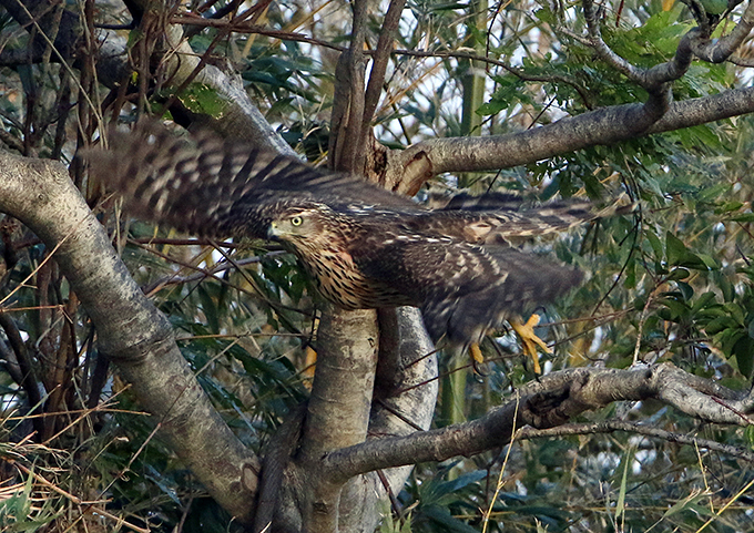 オオタカ幼鳥2219