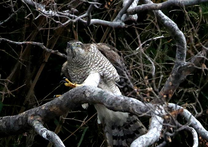 オオタカ成鳥6539