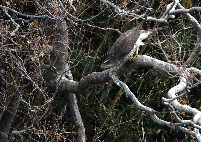 オオタカ成鳥6548