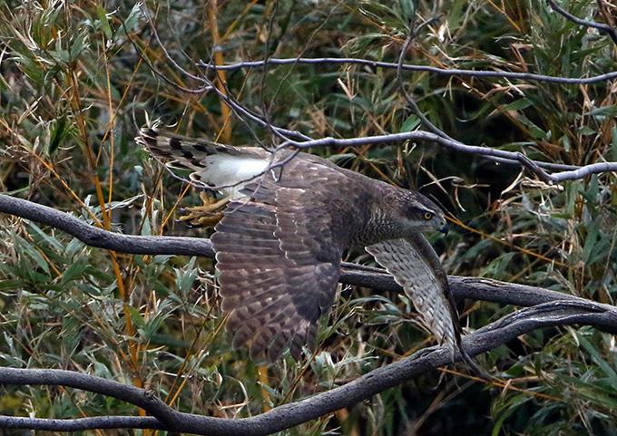 オオタカ成鳥6730