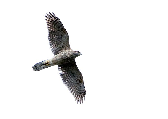 成鳥7236