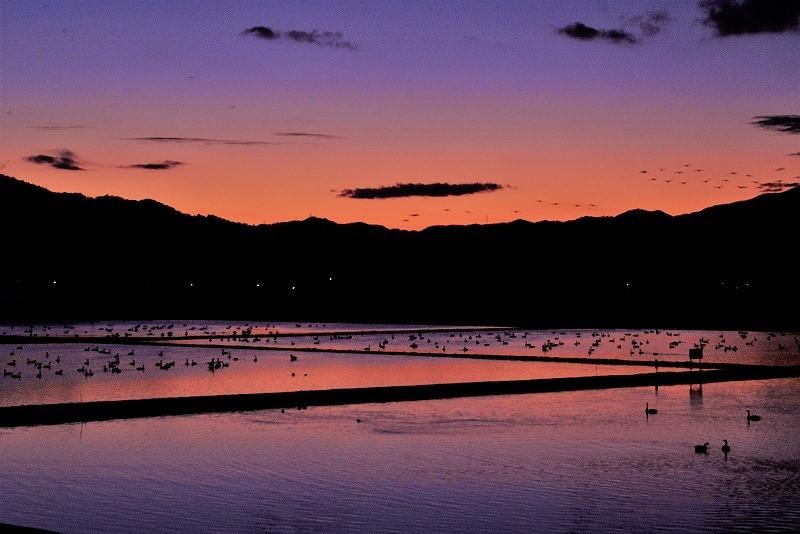 夕陽の白鳥6