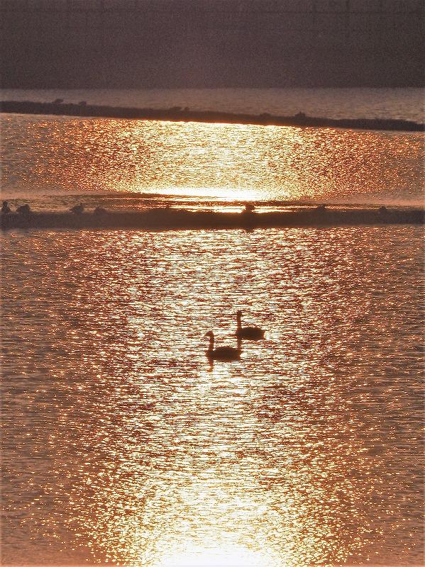 夕陽の白鳥2t