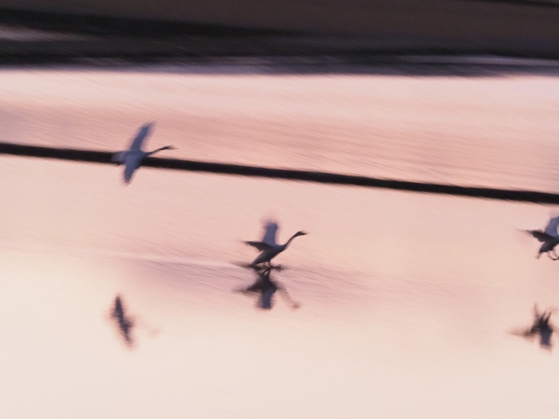 夕陽の白鳥9