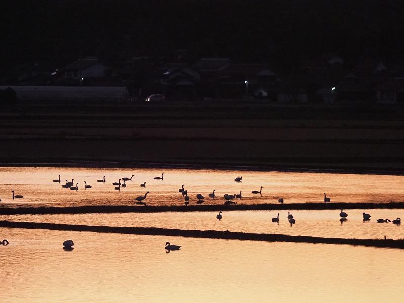 夕陽の白鳥10