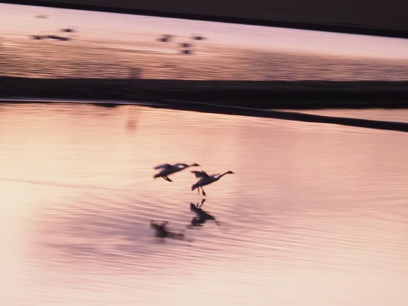 夕陽の白鳥11