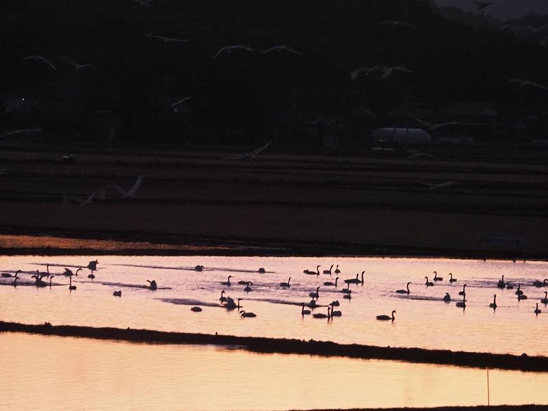 夕陽の白鳥13