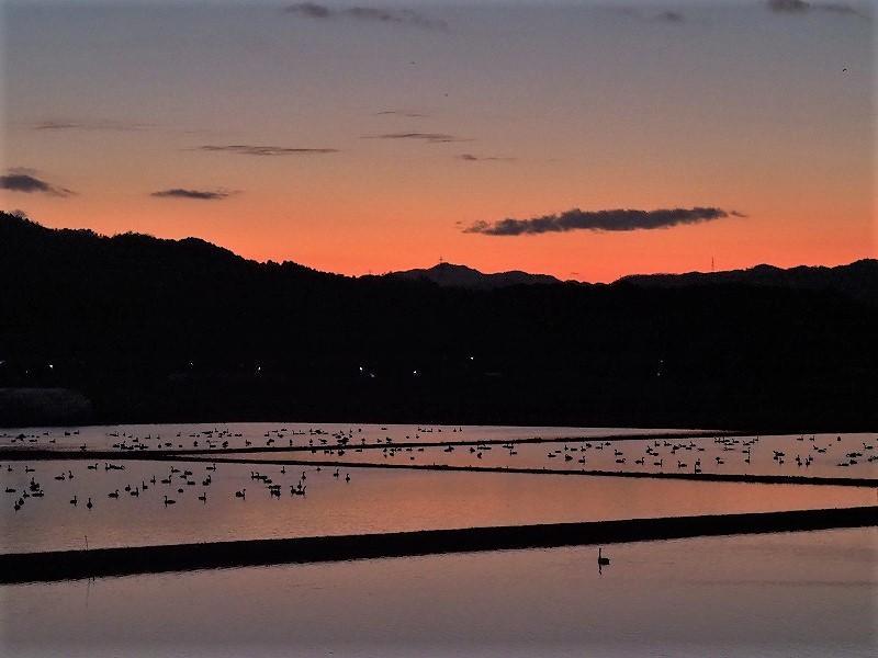 夕陽の白鳥15