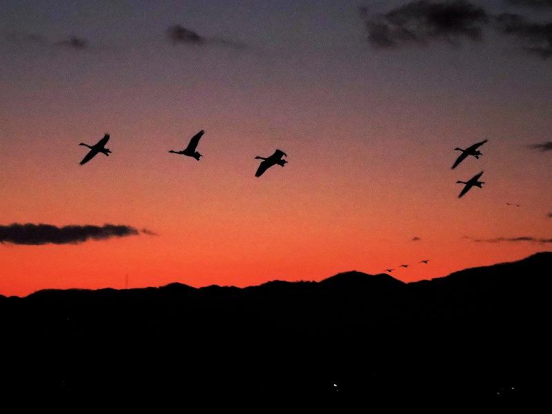 夕陽の白鳥16