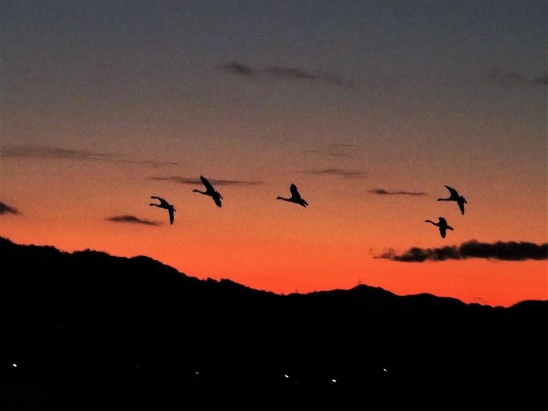 夕陽の白鳥17