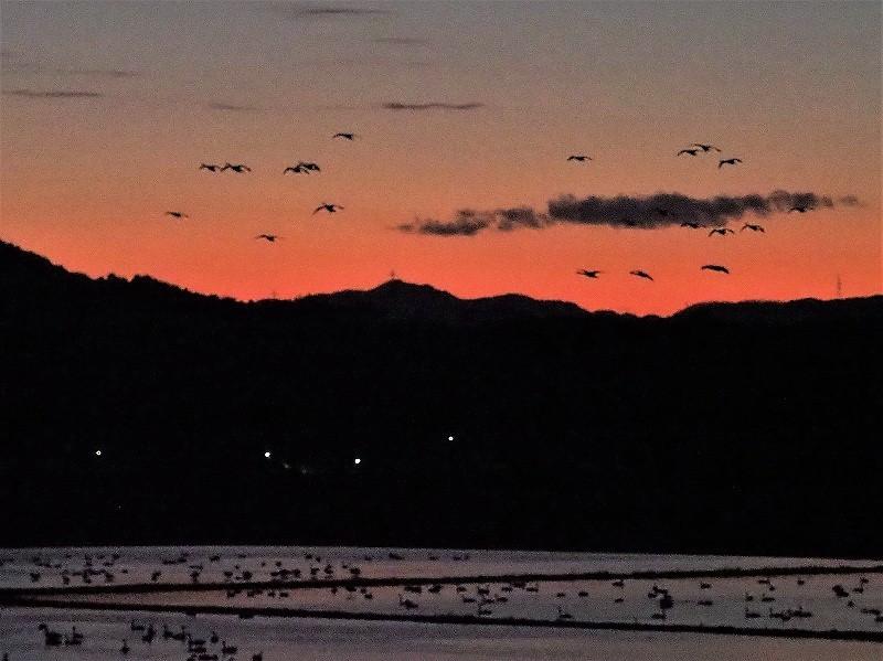 夕陽の白鳥18
