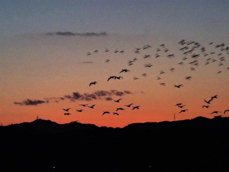 夕陽の白鳥19