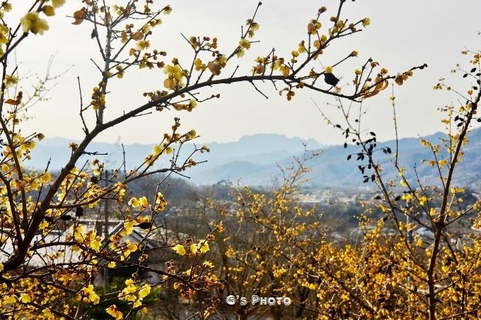 ムクゲ自然公園両神山20190210