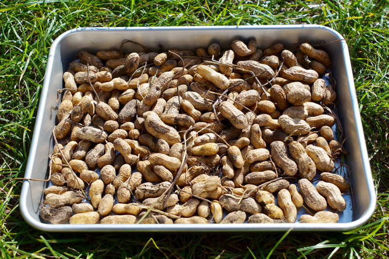 房総フィールドガーデン ピーナッツ収穫 2018