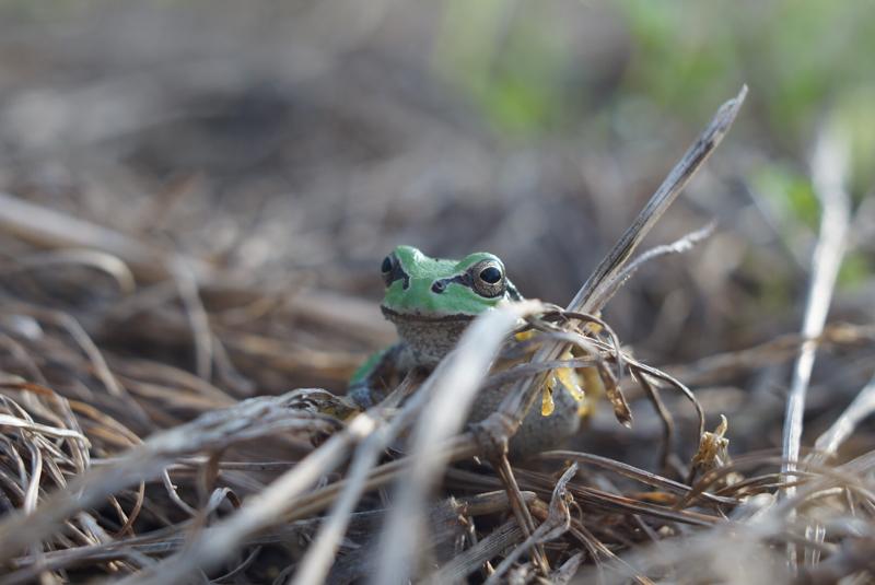 冬眠前のカエル