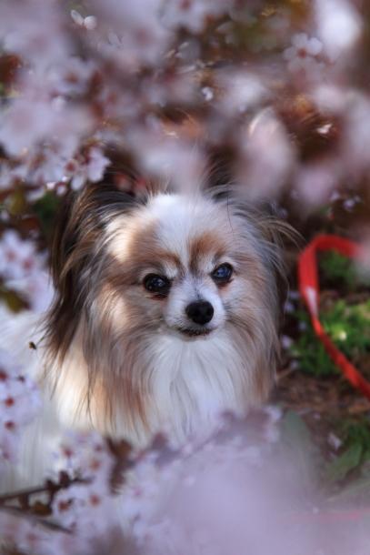 近所の桜まだまだ00044210