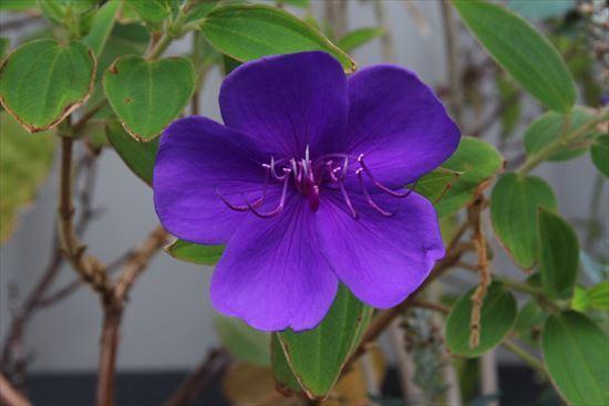 紫紺野牡丹33