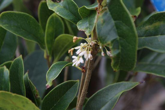 四季咲きモクセイ1
