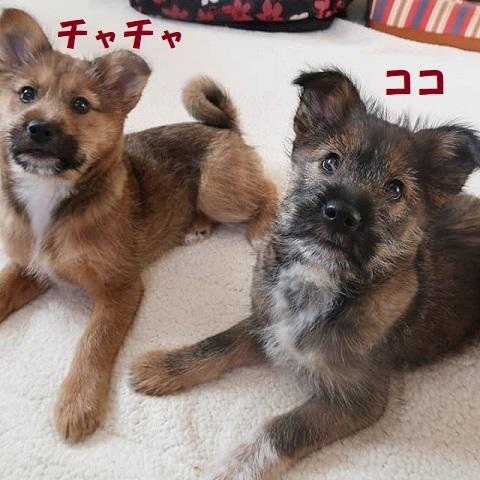ココ・チャチャ 犬2