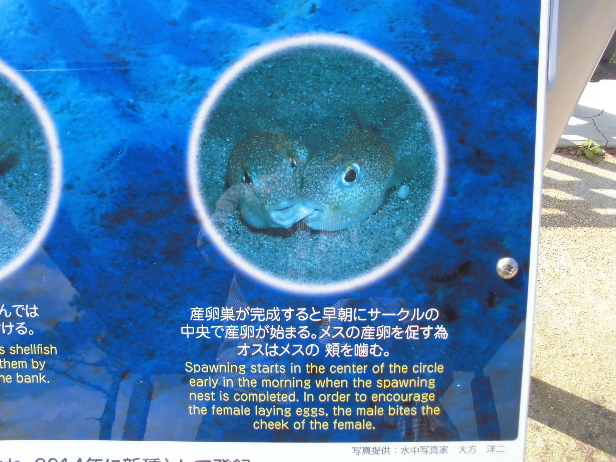 アマミホシゾラフグ・奄美大嶋観光ガイド