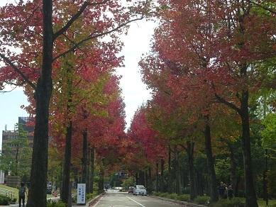 広坂通りのアメリカ楓