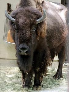 america-bison20181110.jpg