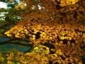 樅林の楓.