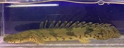 ダボラ1110-1