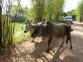 優しい牛たち