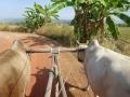 牛車で散策