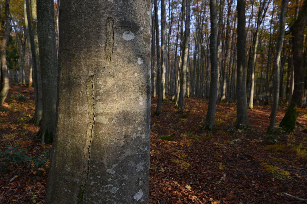 ブナ林の射す-4