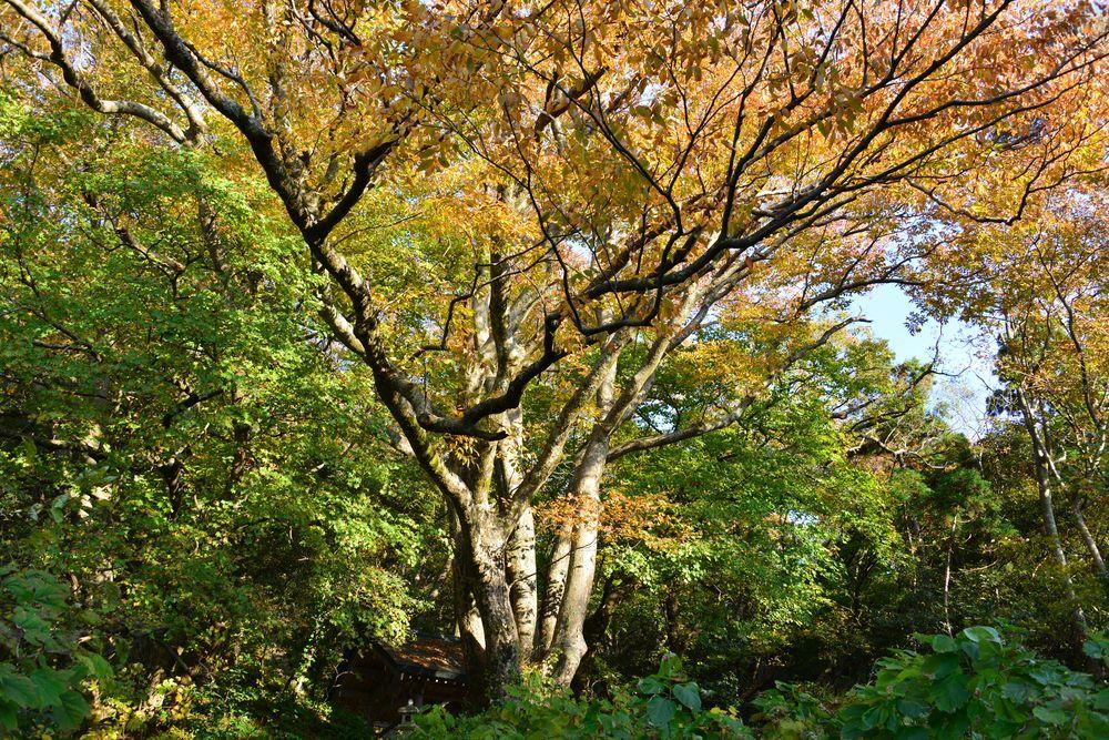 紅葉の大樹-1