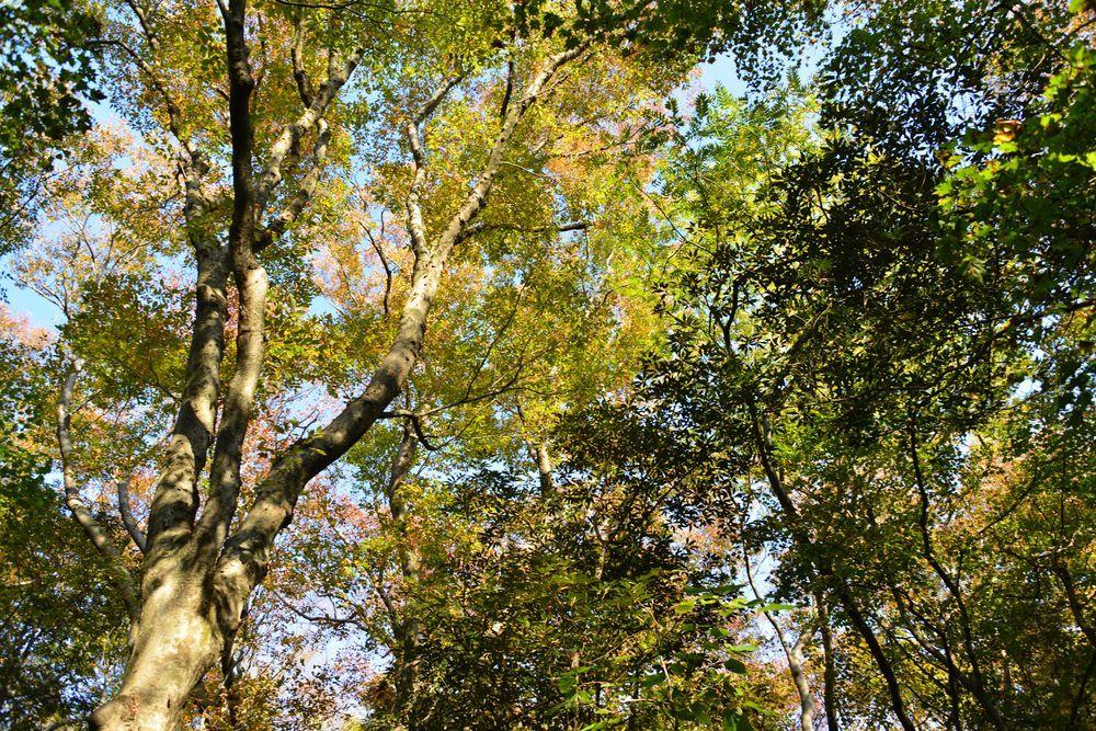 紅葉の大樹-2
