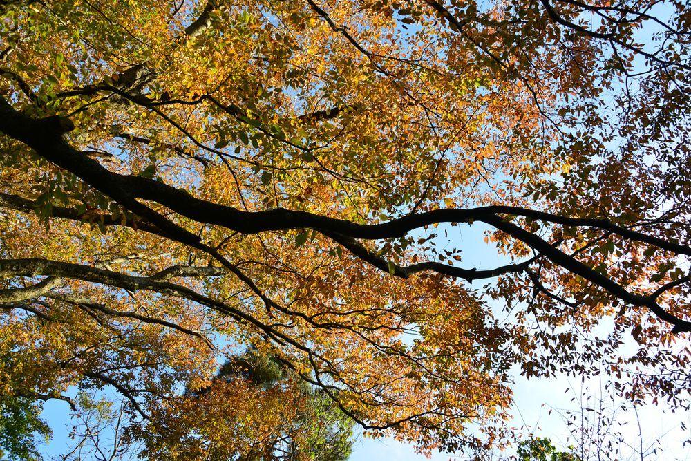 紅葉の大樹-3