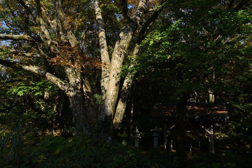 紅葉の大樹-4