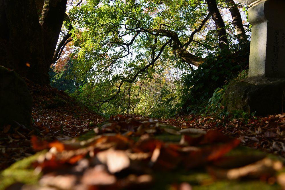 紅葉の大樹-6
