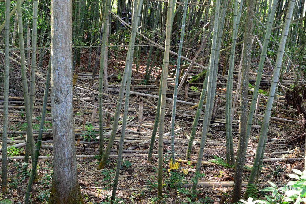竹林倒れる