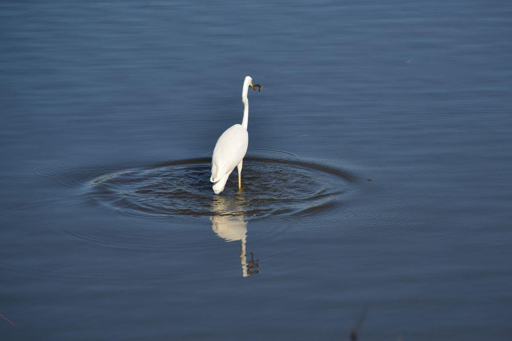 潟の水鳥-6