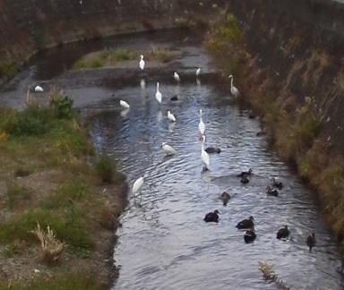 181209川の野鳥、沢山のシラサギと鴨