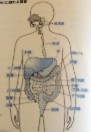 消化に関わる器官