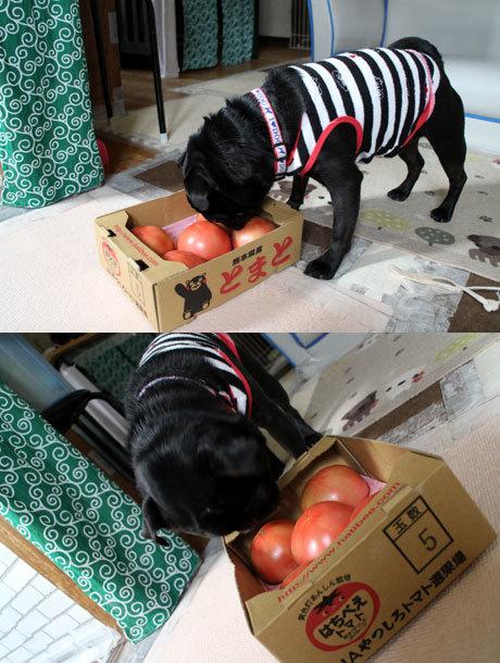 トマトは熊本