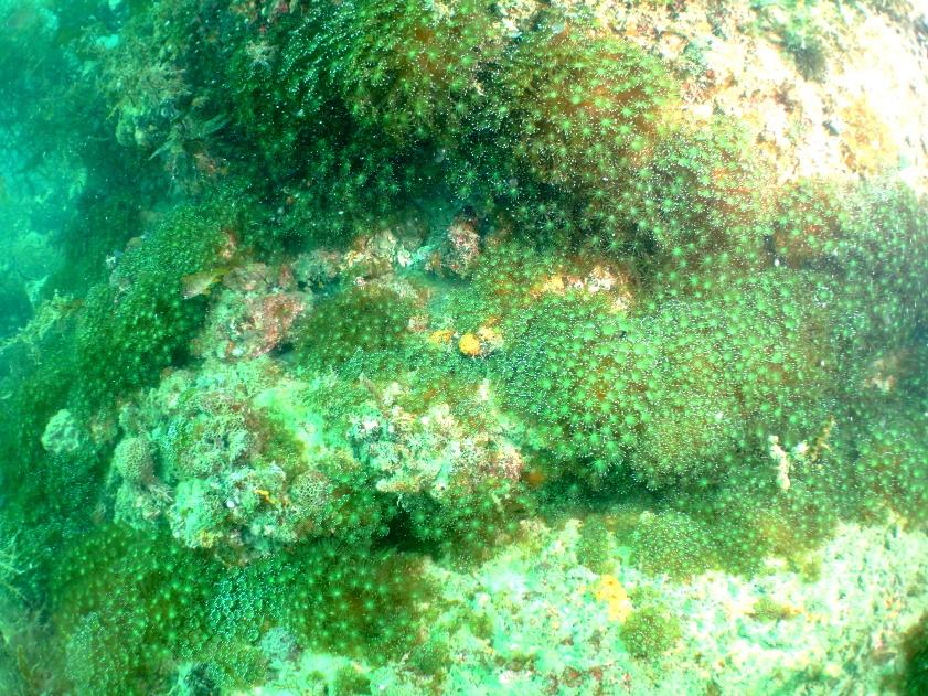 ニホンアワサンゴ