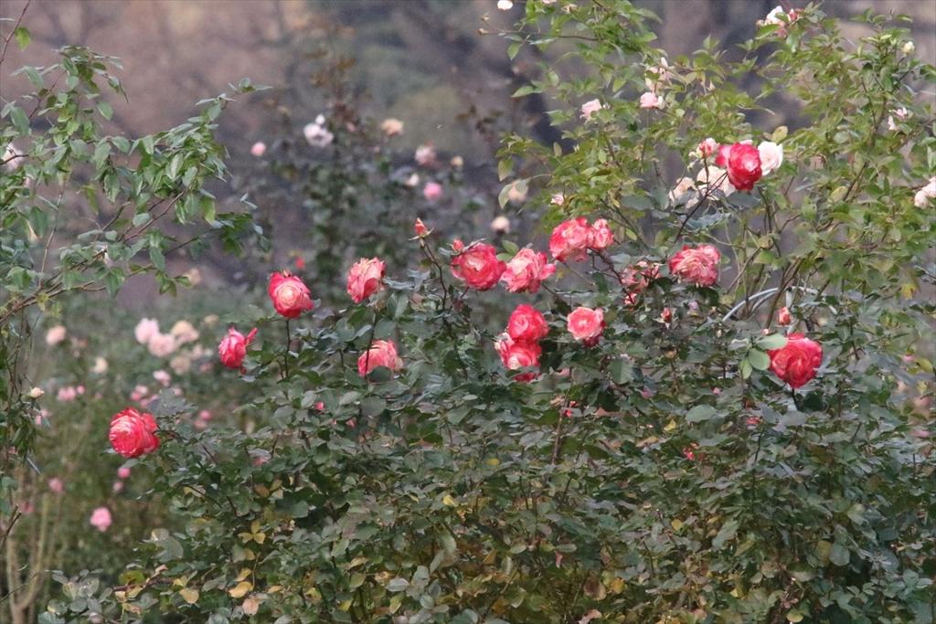 バラがまだ咲き残っていた_1
