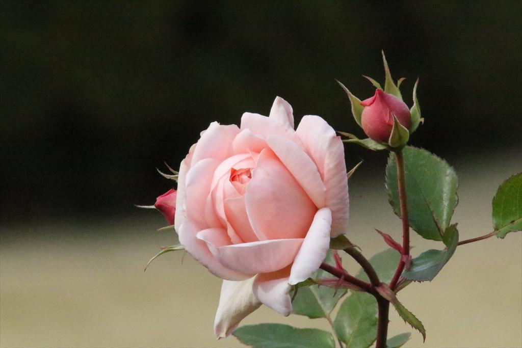 バラがまだ咲き残っていた_2