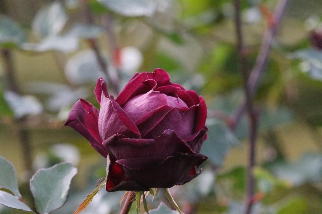 バラがまだ咲き残っていた_3