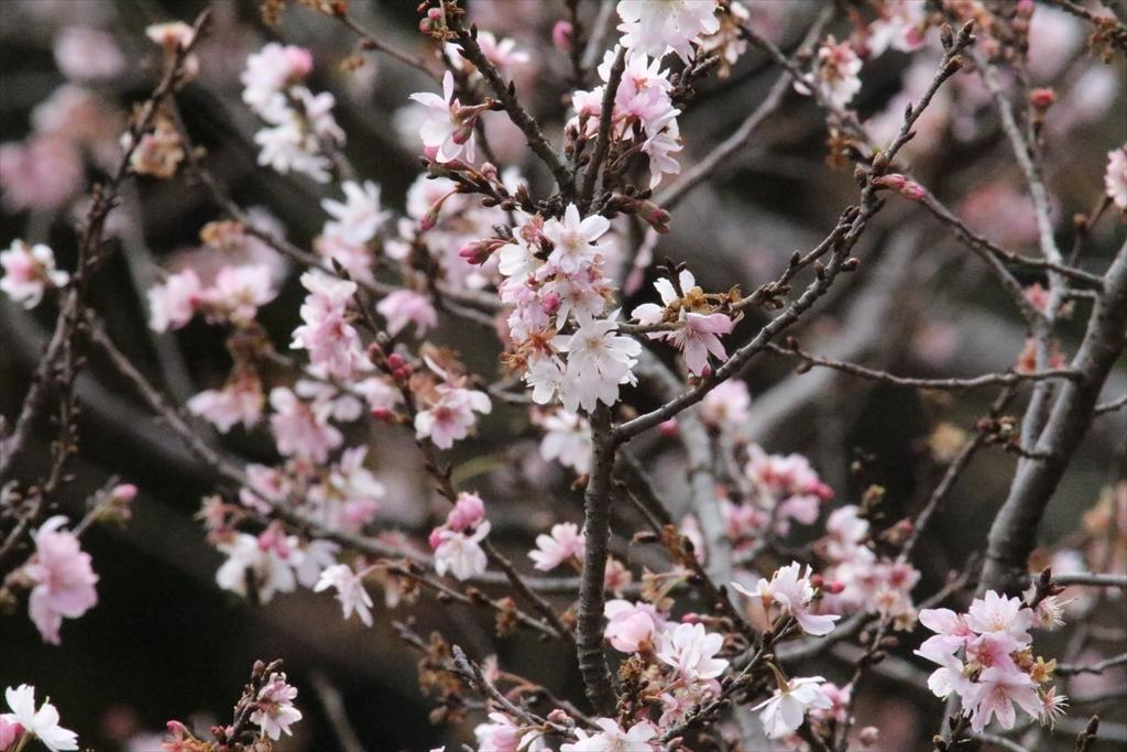 メジロと桜_1